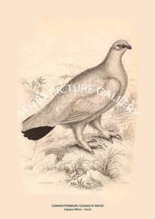 COMMON PTARMIGAN, PLUMAGE OF WINTER = Lagopus Mutus -- Leach